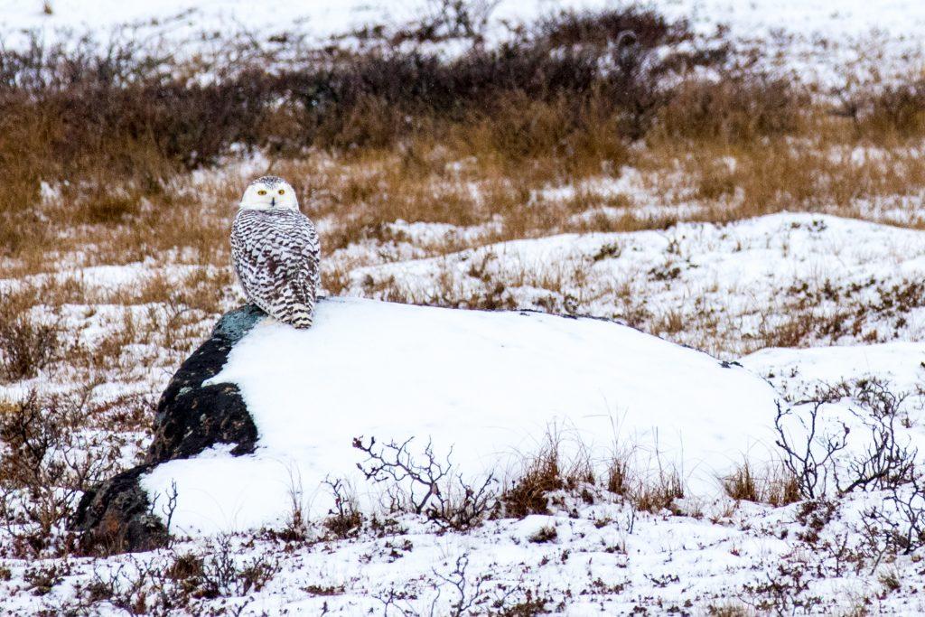 snowy owl in Churchill