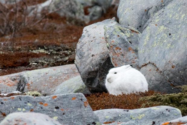 bj-arctic-hare