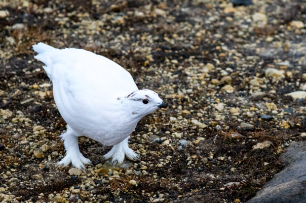 bj-willow-ptarmigan