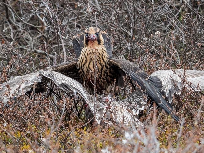 peregrine-falcon-and-gull-madison-stevens-pbi