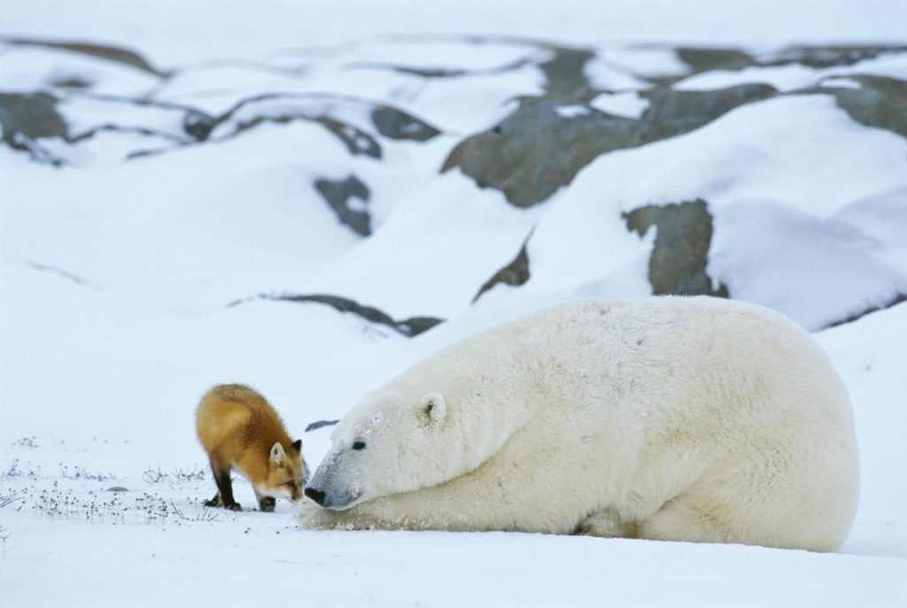 polar bear red fox