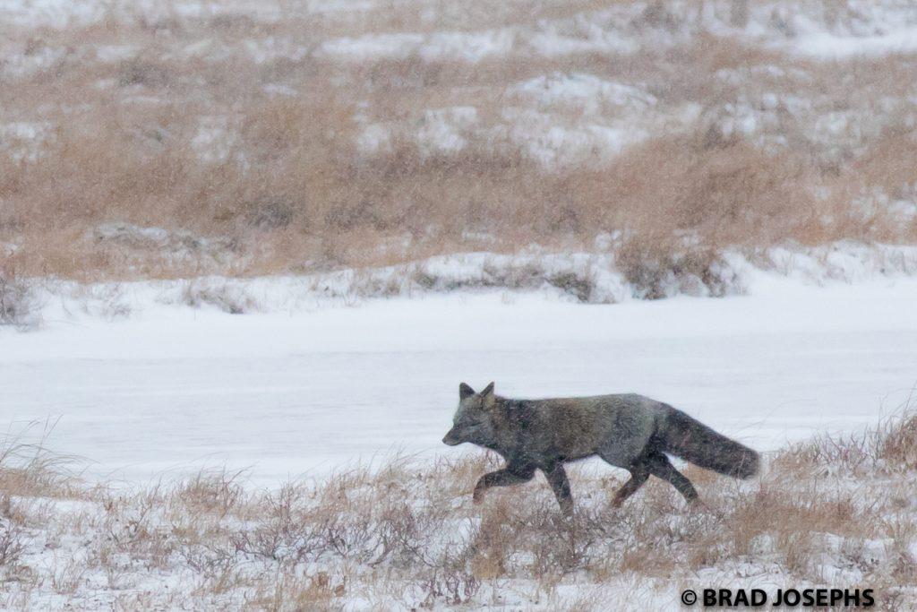 Snowy churchill silver fox
