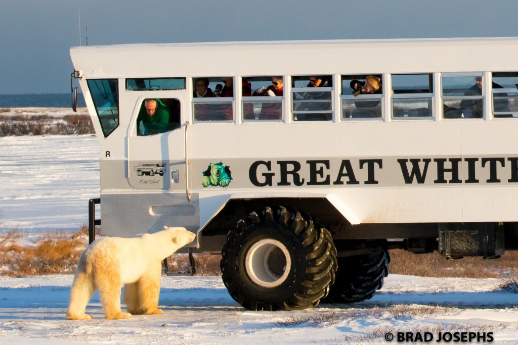 Polar rover and polar bears in Churchill