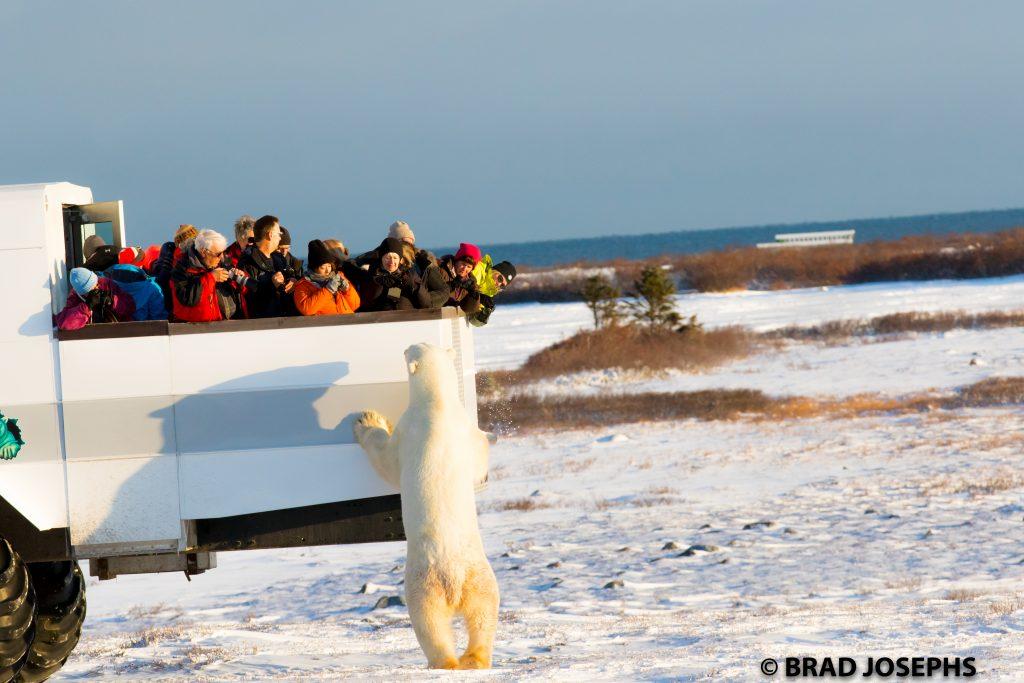 polar bear and polar rover