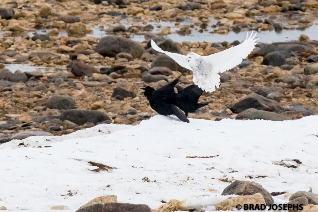 snowy owl and ravens