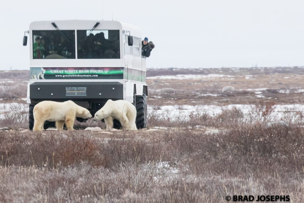 polar bears and polar rover churchill