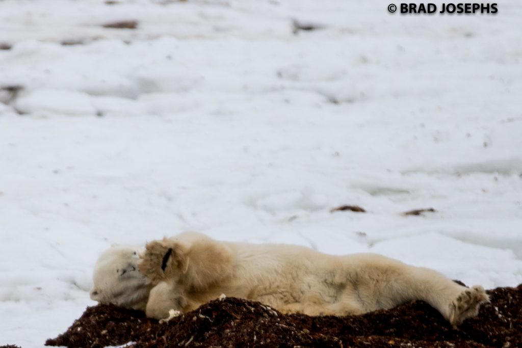 Polar bear in kelp bed Churchill