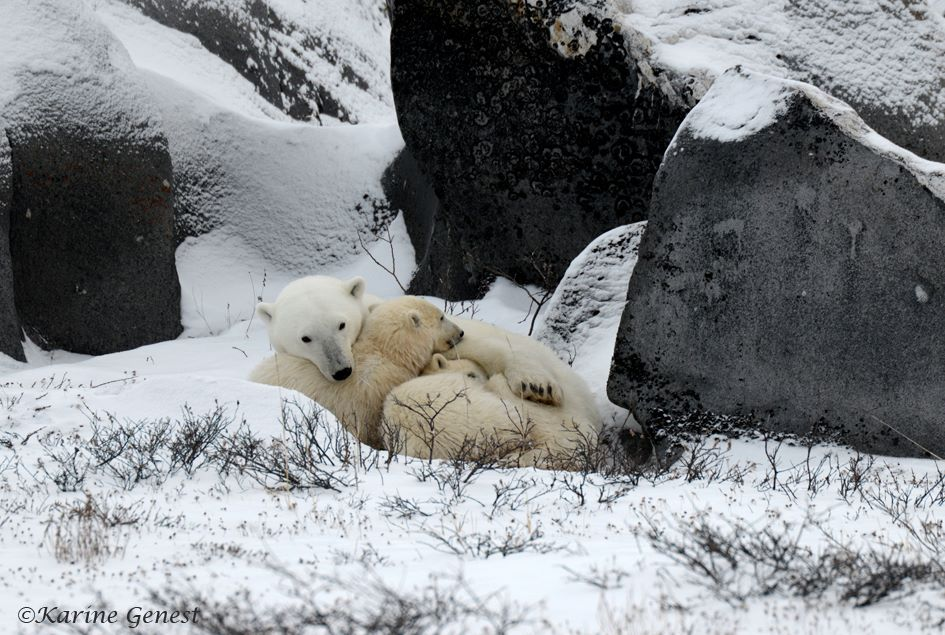 karine-genest-polar-bear-family-2