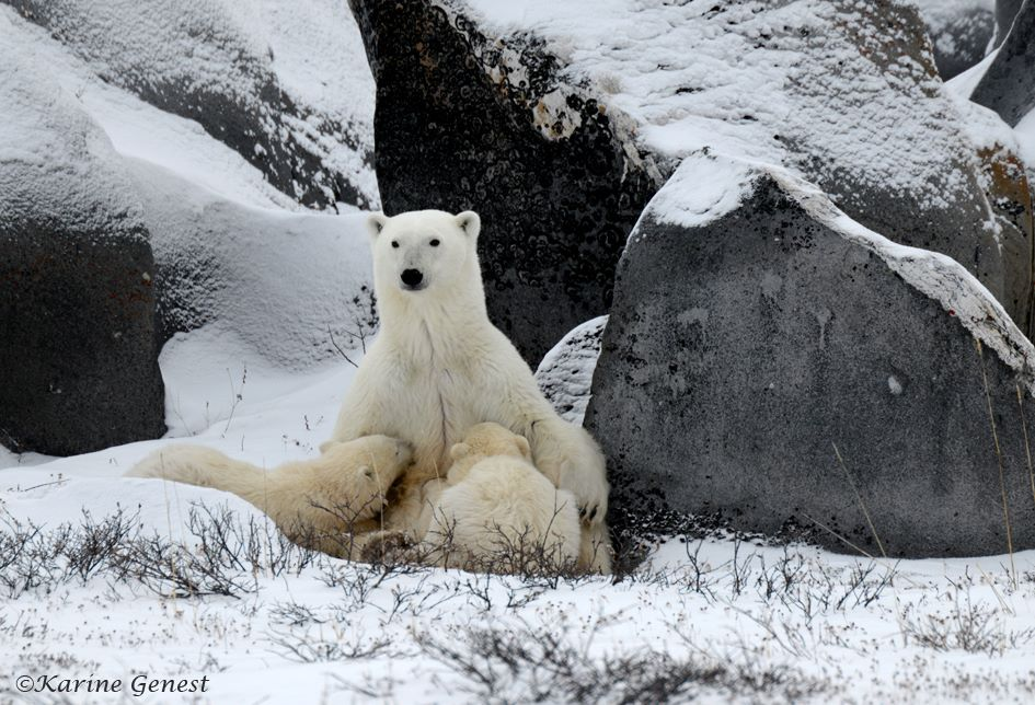 karine-genest-polar-bear-family