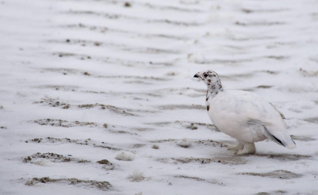 Ptarmigan in Churchill, Manitoba