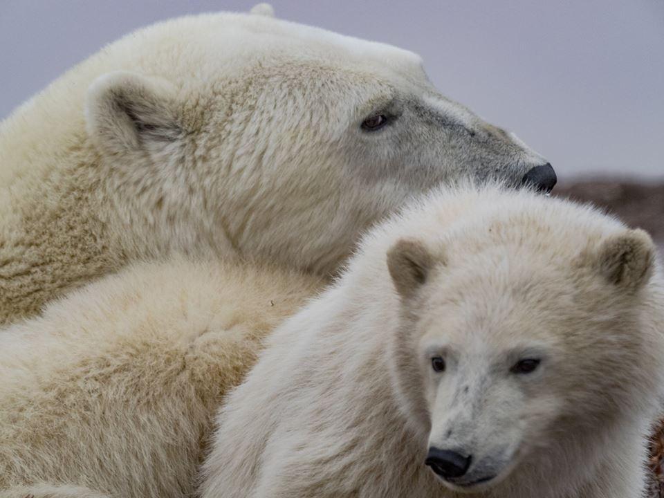 Polar bears in churchill