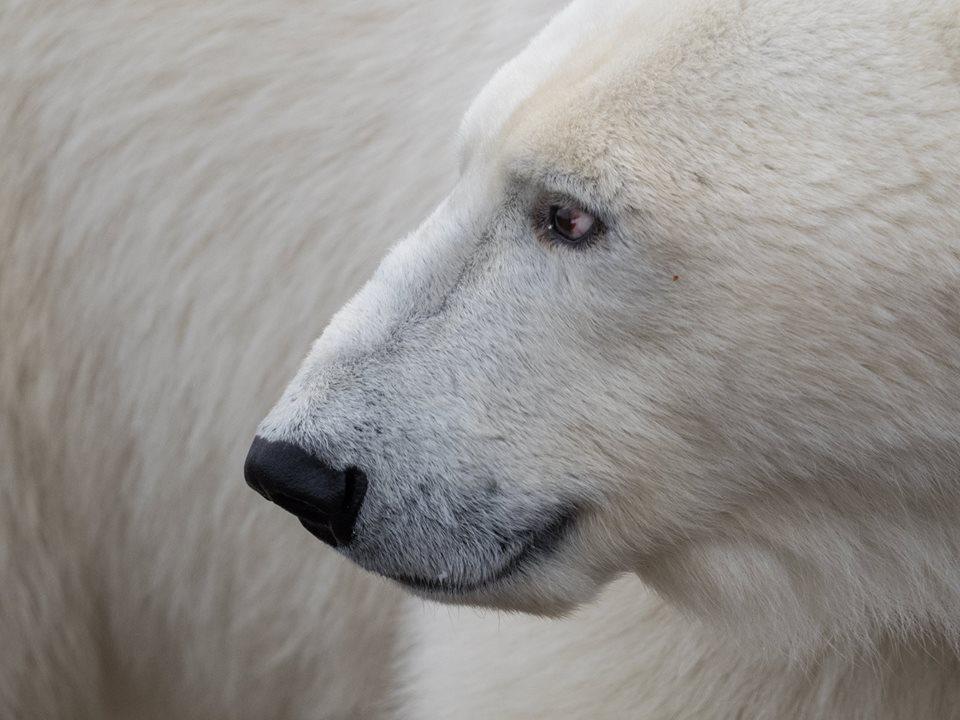 polar-bear-drew-hamilton