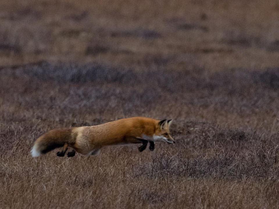 red fox churchill manitoba