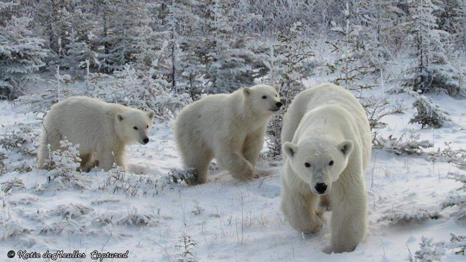 polar bear family churchill