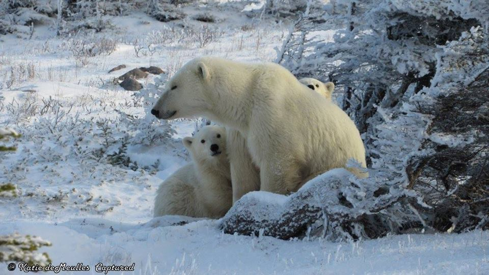 polar bear family churchill