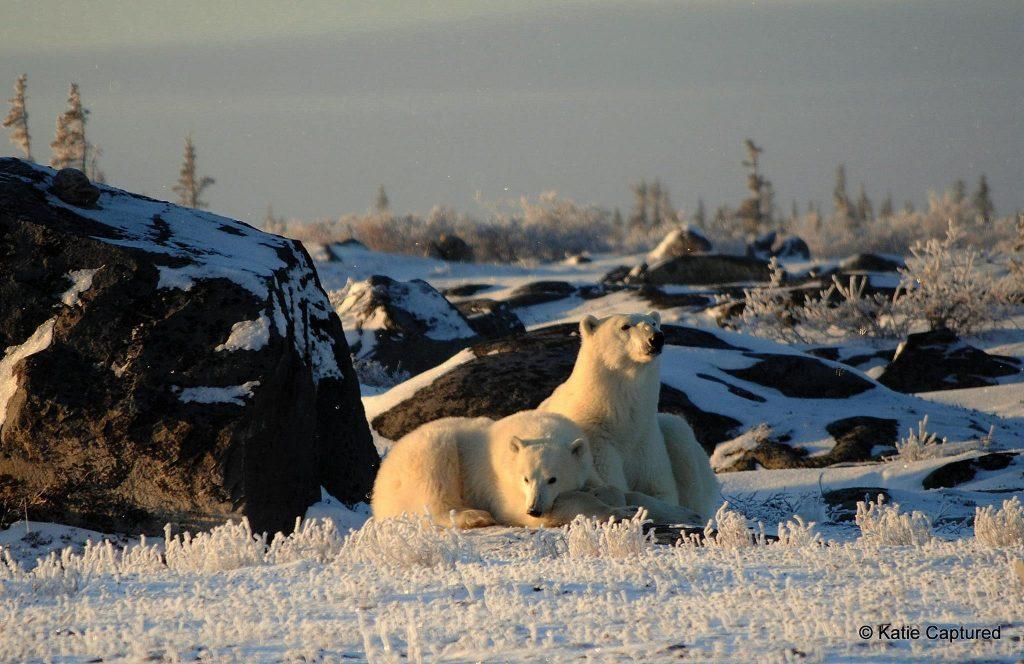 polar-bear-14-kd