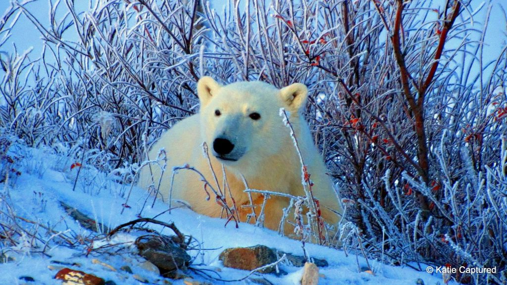 polar bear in Churchill
