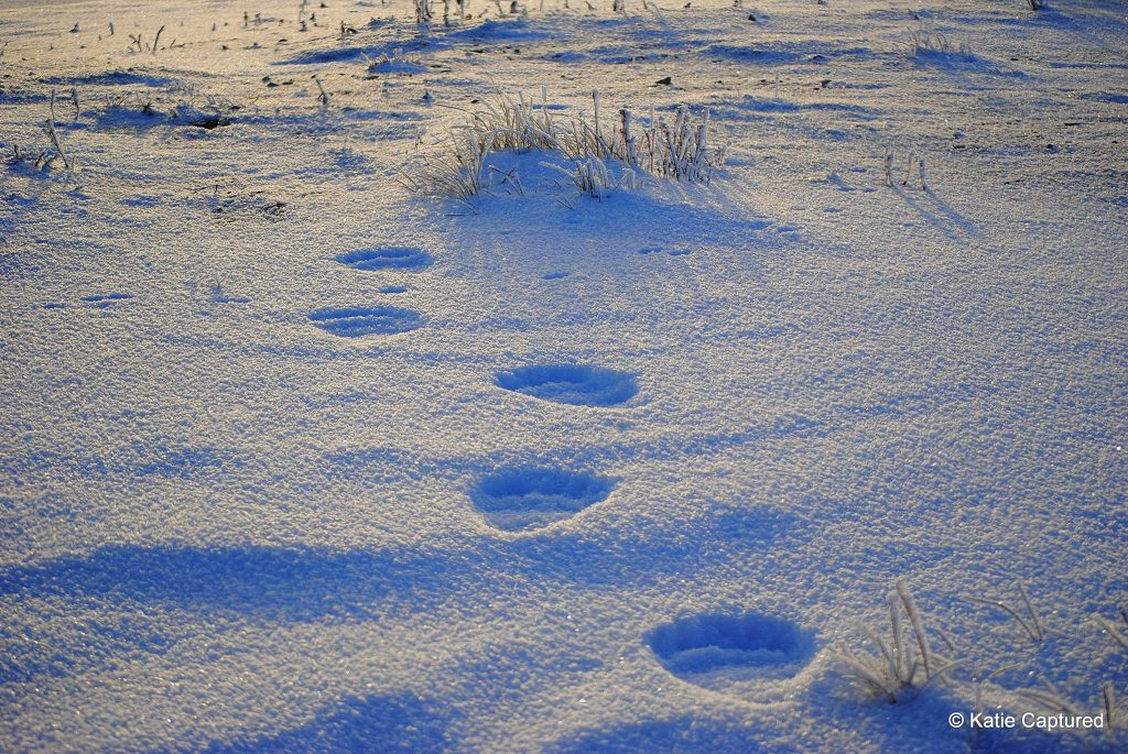polar bear tracks churchill
