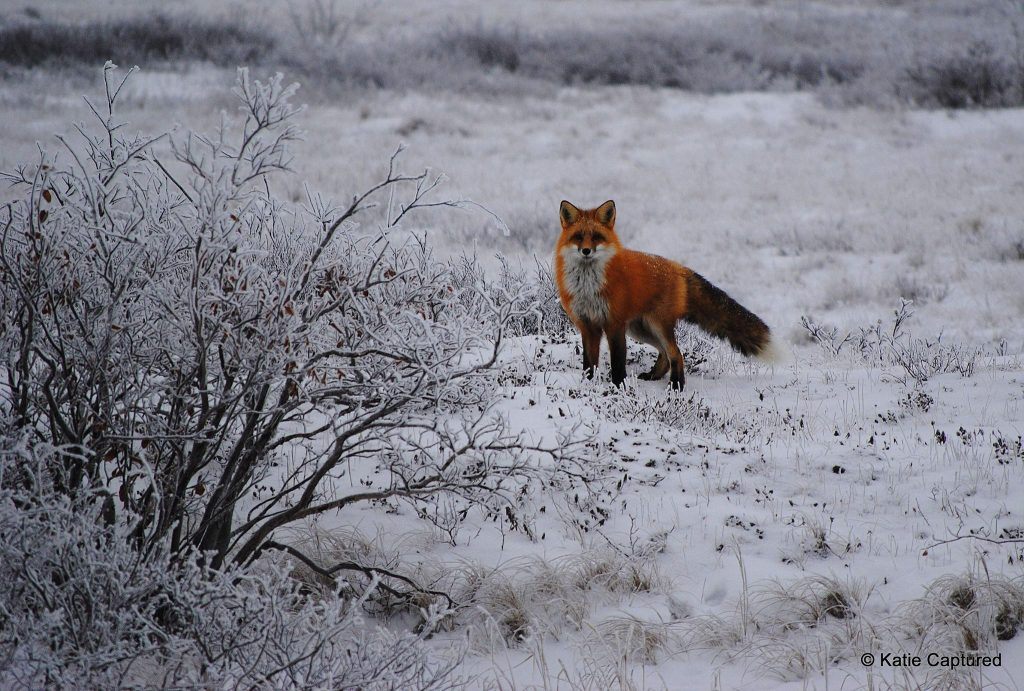 red fox on the tundra