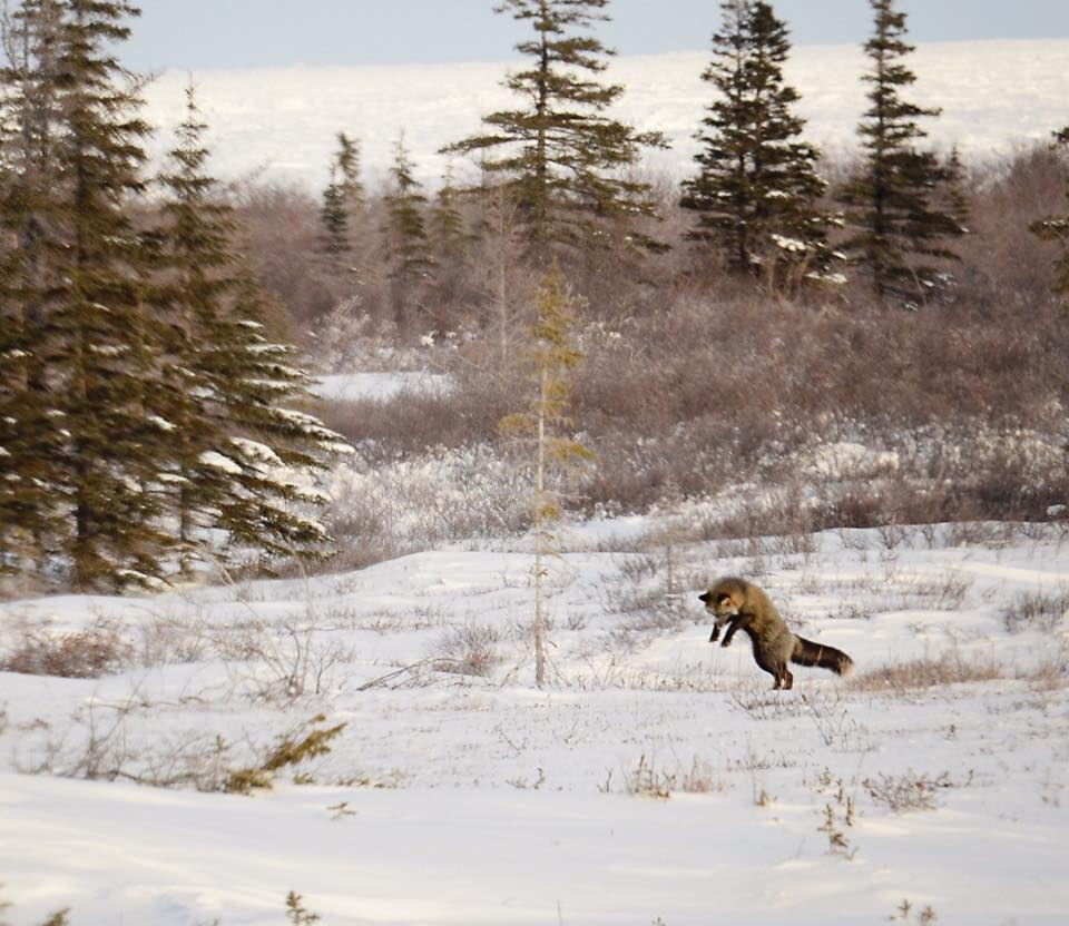 red fox churchill, Manitoba