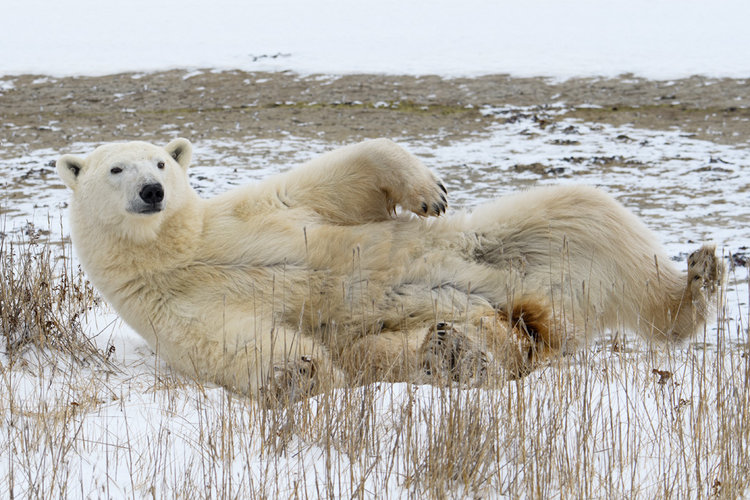 polar bear churchill, Manitoba