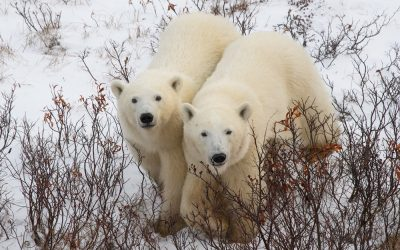 Churchill Wants Polar Bears to Stay Home