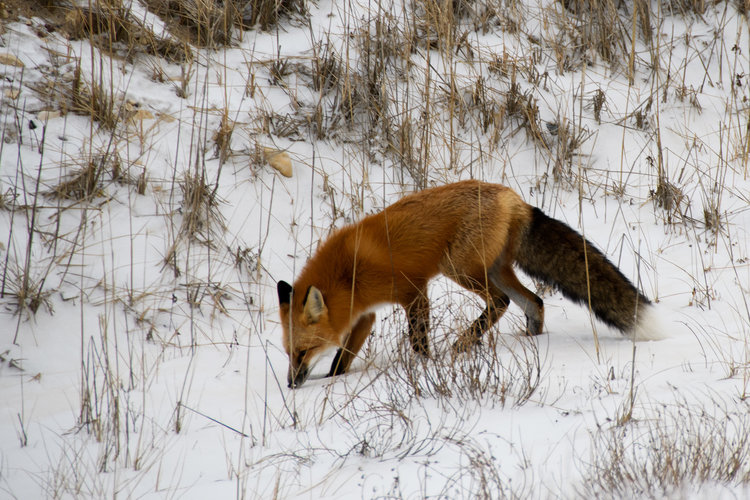 red fox on tundra in Churchill, Manitoba