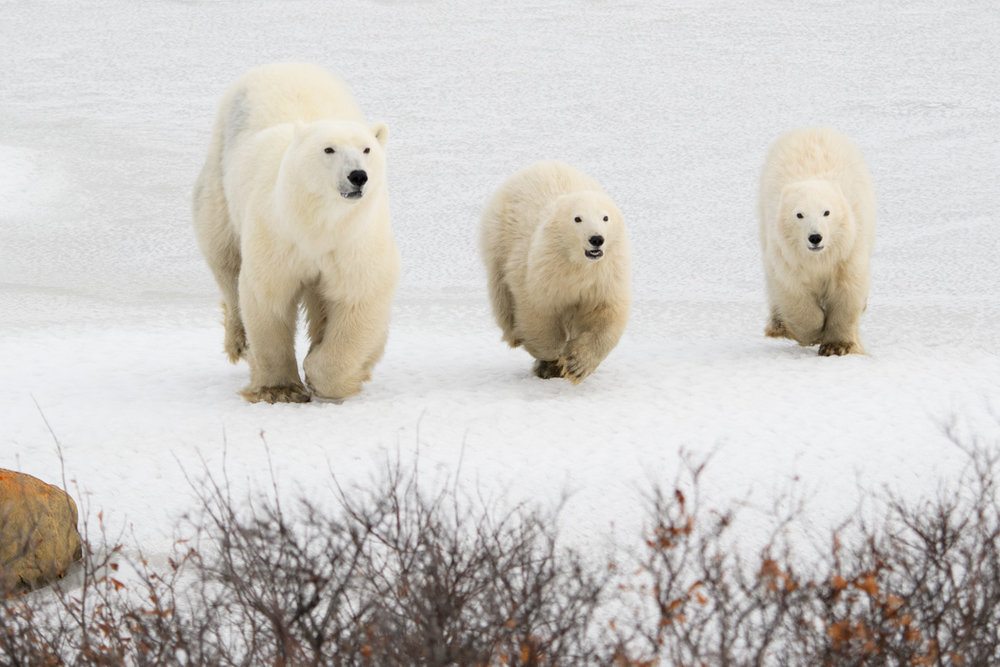 polar bears in Churchill