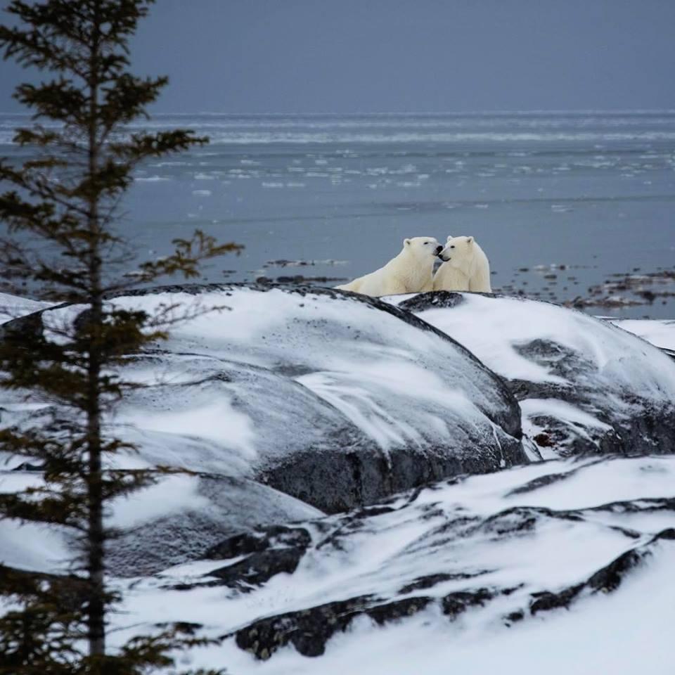 polar bear mother and cub Churchill , Manitoba