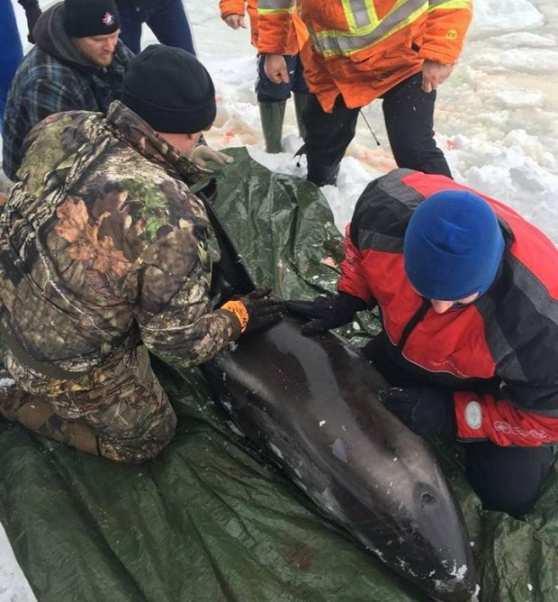 Dolphin rescue Bell Island Labrador and Newfoundland