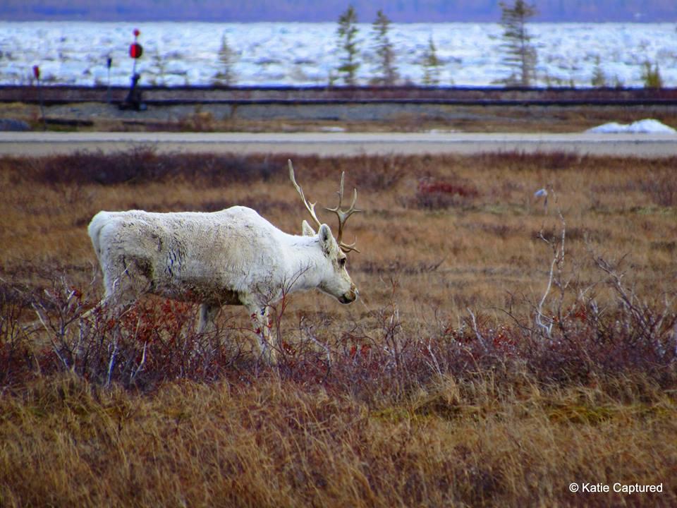 caribou Churchill, Manitoba