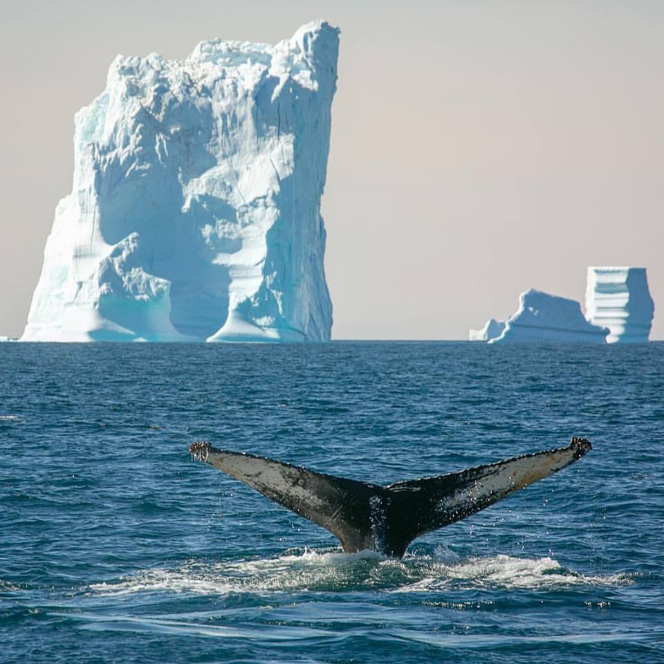 Humpback and iceberg greenland