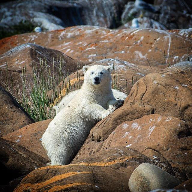 Polar bear on the Churchill Precambrian rocks