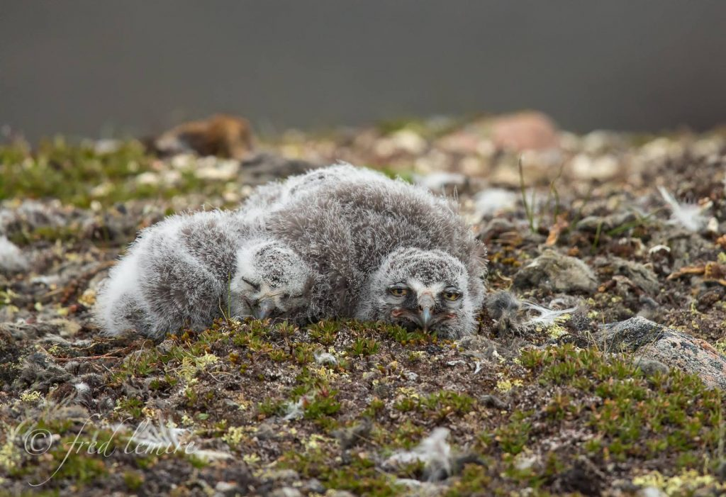 snowy owl chicks Iqualuit