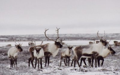 Canadian Government Will Protect Caribou Herd