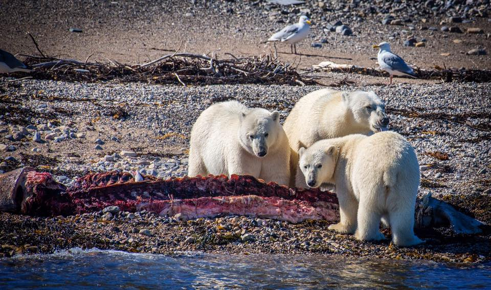 Polar bears and beluga whale carcass churchill, Manitoba