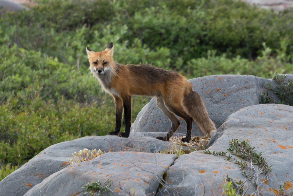 Red fox in Churchill.