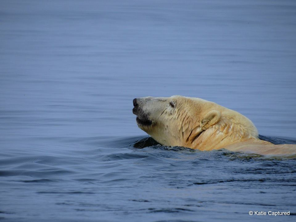 polar bear swimming Churchill, Manitoba