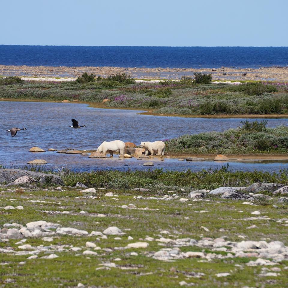 Churchill polar bears Hudson Bay