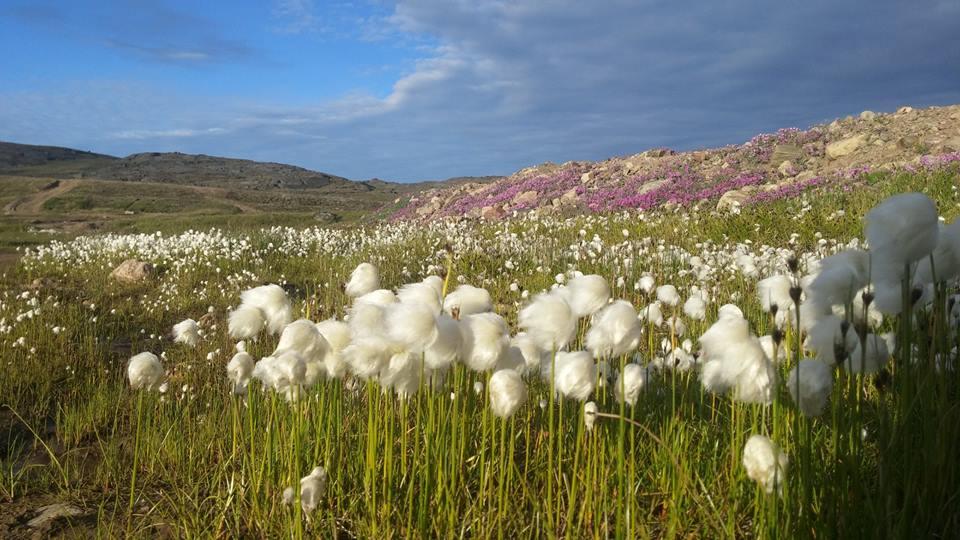 Arctic cotton Nunavut