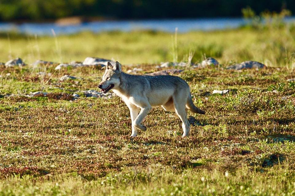 wolf in Churchill, Manitoba