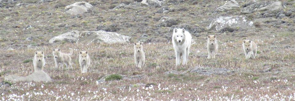 Wo;f pups Alert Nunavut