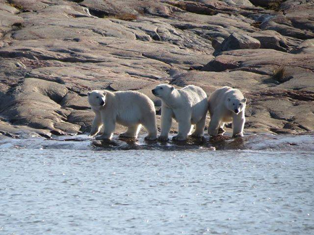 polar bears in Chesterfield inlet