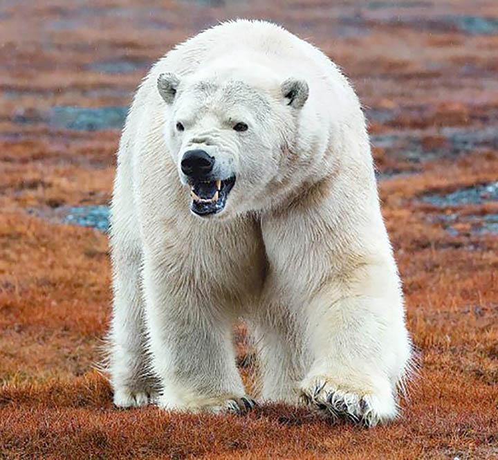 Wrangell Island polar bears