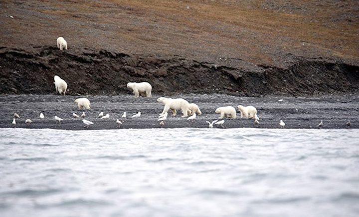 polar bears on Wrangell island