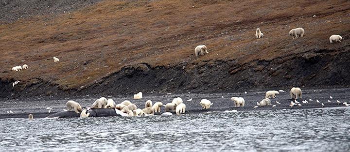 polar bears on Wrangell Island