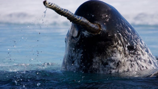 narwhal and tusk