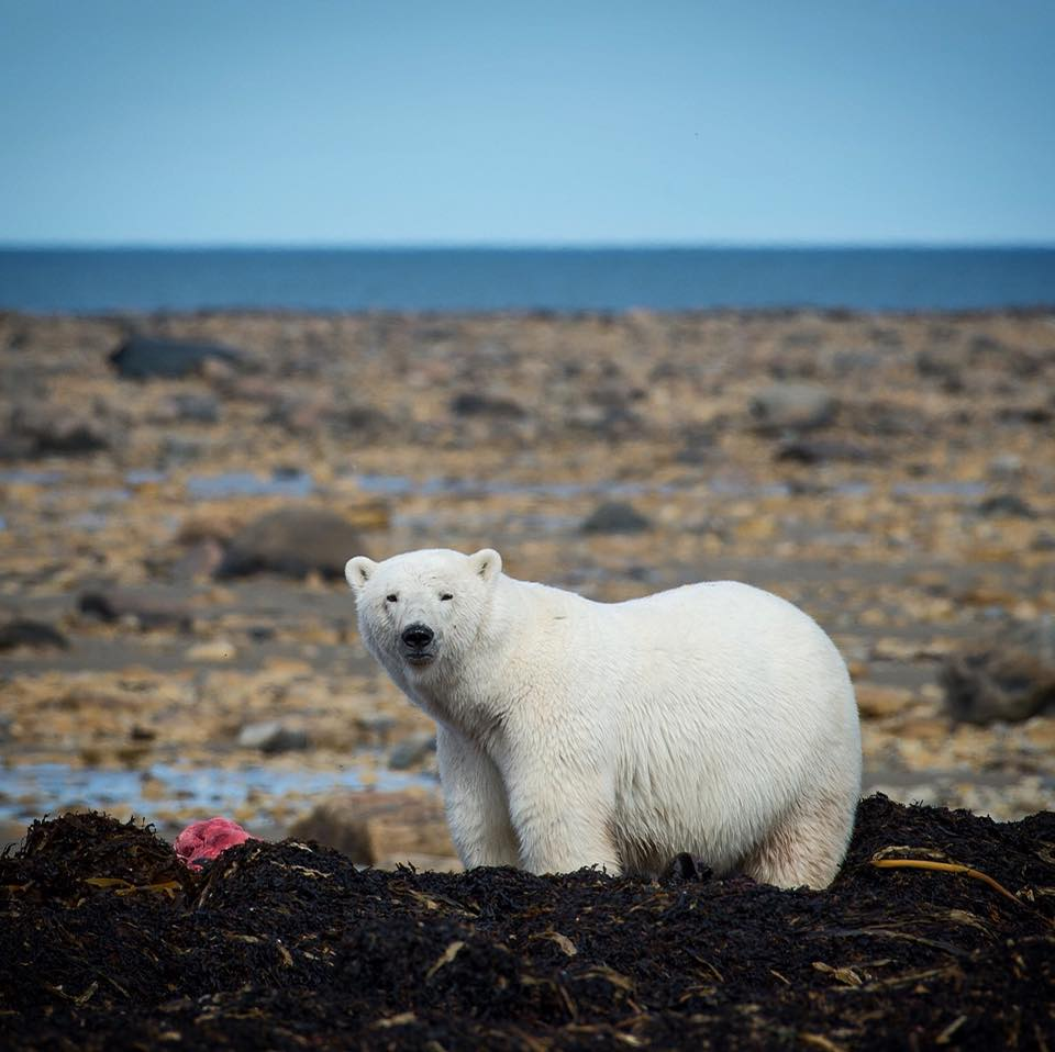 polar bear and seal kill churchill, Manitoba