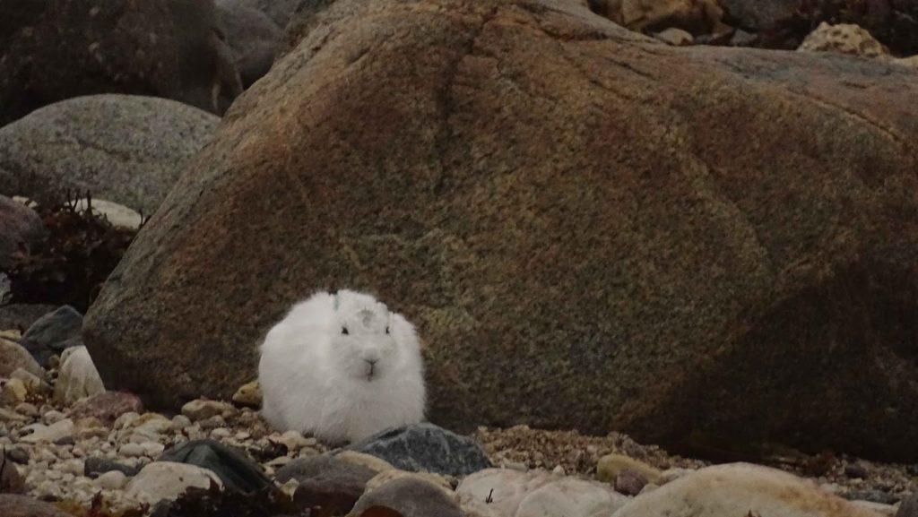Arctic hare in Churchill