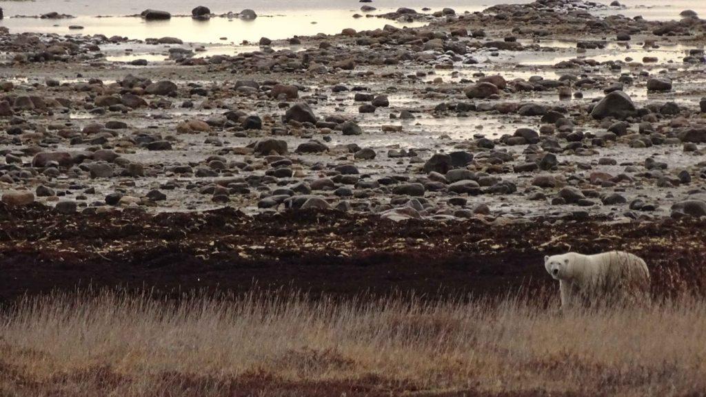 polar bear hudson bay churchill